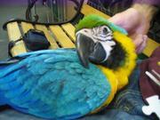 1дома,  поднятые и зарегистрирован синих и золотых попугаи ара для прод